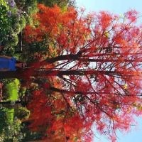 Melissa Morris under the red Flame tree of Silverleaves.