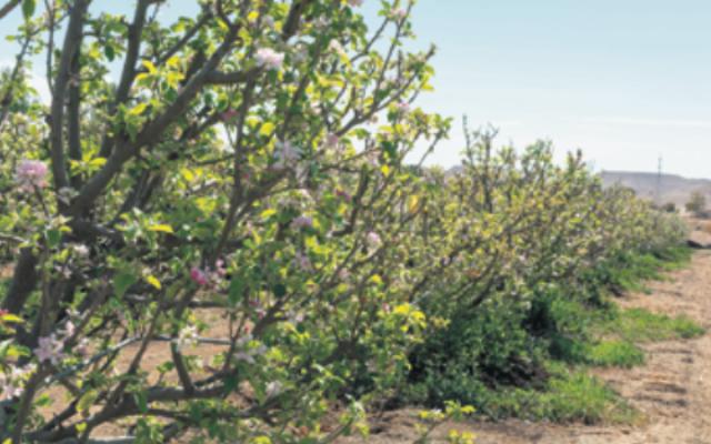 Springtime in a Negev desert Kibbutz orchard. Photo: Barmalini/Dreamstime.com