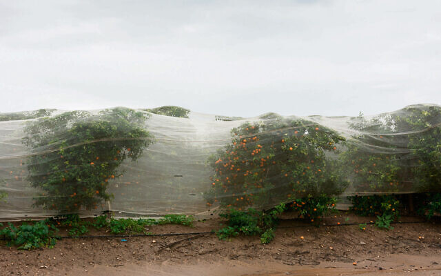 Orange groves in the rain. Photo: Davidleshem/Dreamstime.com