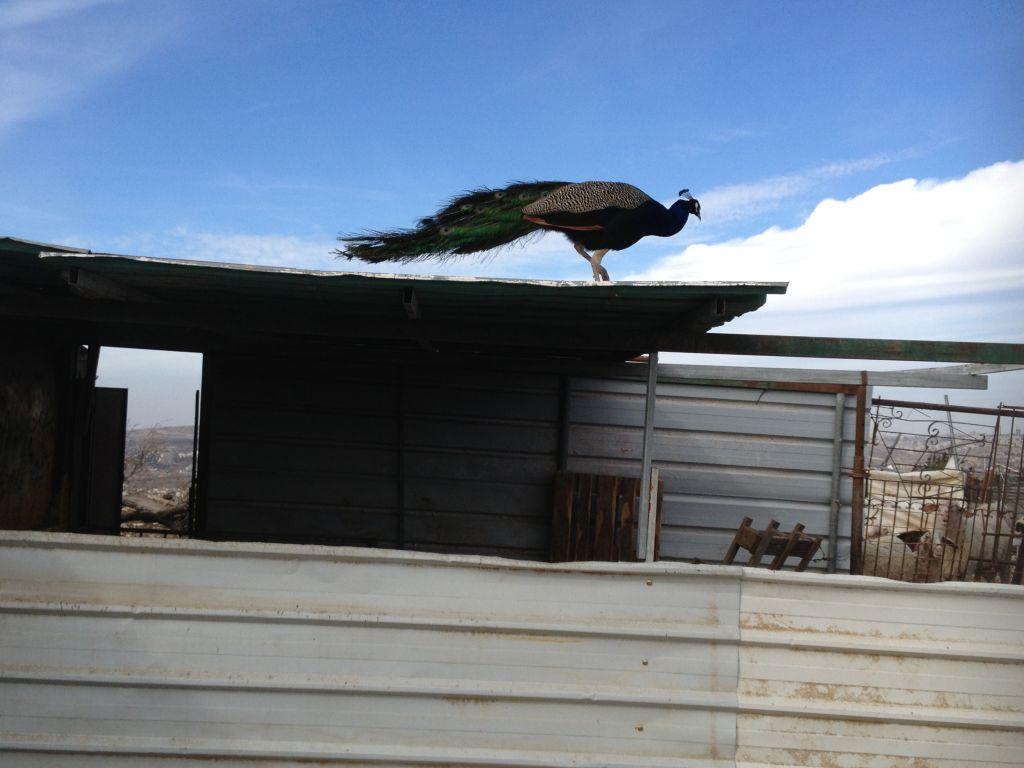 طاووس يقف فوق سقيفة في بني صاموئيل 31 يناير 2014 (بعدسة الحنان ميلر/ طاقم تايمز اوف اسرائيل)