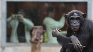 شمبانزي في حديقة الحيوانات في رمات جان (Shay Levy/Flash 90)