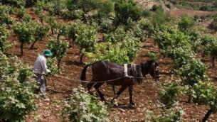 مزارع فلسطيني يعمل على كرمه في الضفة الغربية بالقرب من مستوطنة افرات، يوم 8 مايو، 2013  (فلاش 90)