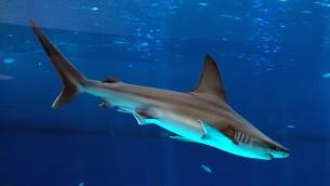 صورة توضيحية لسمكة القرش (FLASH90)
