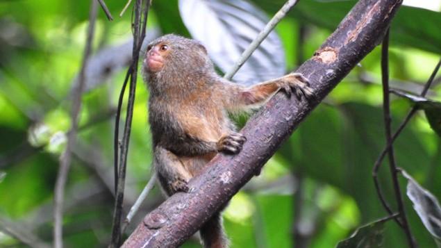 صورة توضيحية لقرد سيبويلا القزمي (CC BY-SA 2.0 Don Faulkner, Flickr)