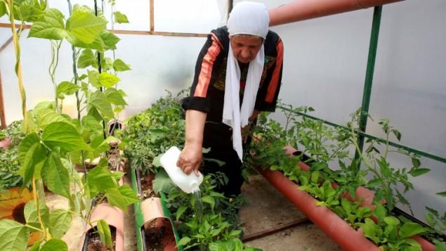 هاجرحمدان تعتني بالنباتات في الدفيئة على سطح منزلها في مخيم الدهيشة في الضفة الغربية، 12 مايو 2015 (MUSA AL-SHAER / AFP)