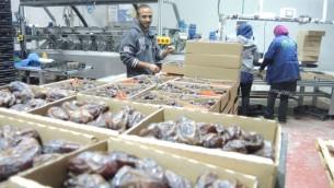 """عمال فلسطينيون في 11 نوفمبر، 2015 في مصنع لتغليف التمر في غور الأردن في الضفة الغربية. سيتم تصنيف هذا المنتج إذا تم توريده إلى الإتحاد الأوروبي تحت علامة """"منتج من الضفة الغربية (مستوطنة إسرائيلية)"""" (Melanie Lidman/Times of Israel)"""