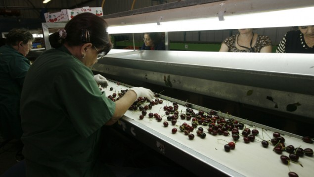عمال في مصنع كرز في مستوطنة في الضفة الغربية، 25 مايو 2009 (Miriam Alster/Flash90)