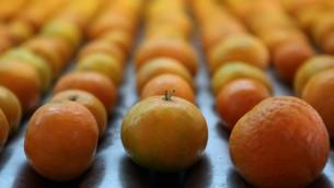 صورة توضيحية لبرتقال (Yaakov Naumi/FLASH90)