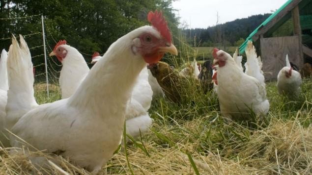 صورة توضيحية لدجاج  (Wikipedia/woodley wonderworks/CC BY 2.0)