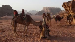 جمال تأخذ قسطا من الراحة في وادي رم في الأردن، 13 فبراير، 2013. (Lucie March/Flash 90)