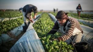 فلسطينيون يقطفون الفراولة في حقل في بيت لاهيا، شمالي قطاع غزة في 30 ديسمبر، 2015. (Emad Nassar/FLASH90)