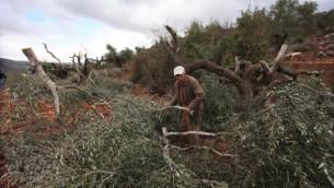 فلاحون فلسطينيون يتفقدون الأضرار التي أٌلحقت بأشجار زيتون يُزعم بأن مستوطنين إسرائيليين قاموا بإقتلاعها في أكتوبر 2013. (Issam Rimawi/Flash90)