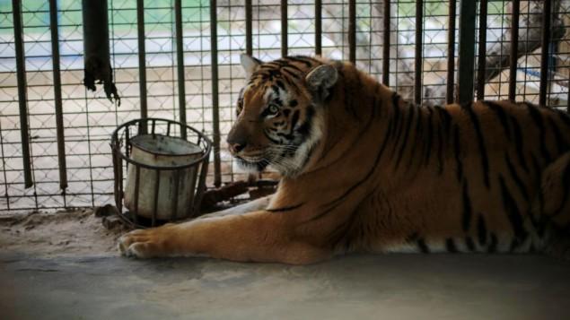 """""""لذيذ""""، اخر نمر في قطاع زة، سوف ينتقل الى بيت جديد في جنوب افريقيا (Four Paws)"""