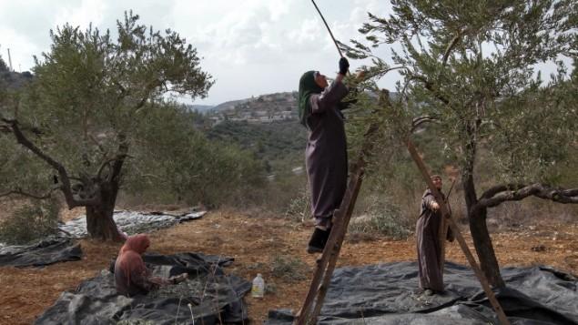 صورة توضيحية: نساء يعملن على قطف ثمار الزيتون. (Nati Shohat/Flash90)