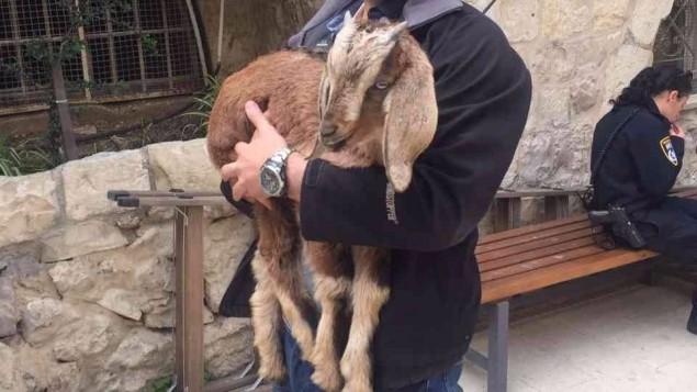 عنزة تم انقاذها من رجل حاول تقديمها قربان بمناسة عيد الفصح العبري في القدس القديمة، 10 ابريل 2017 (Police spokesperson)