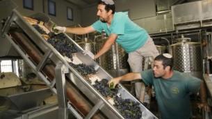صانعو نبيذ يهود يتفقدون العنب في مخمرة في كتلة غوش عتصيون في الضفة الغربية، 9 سبتمبر، 2014. (Gershon Elinson/FLASH90)
