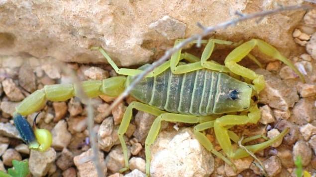 العقرب الأصفر في صحراء النقب. (Ester Inbar, public domain via Wikimedia Commons)