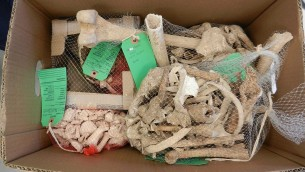 مجموعة عظام تم العثور عليها في موقع خربة المقاطر الأثري.  (Steven Rudd)