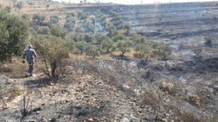 أشجار الزيتون خارج قرية بورين الفلسطينية، التي أحرقها مستوطنون من مستوطنة يتسحار في 28 يونيو / حزيران 2017. (Courtesy: Yesh Din)