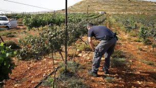 مالك مزرعة بالقرب من مستوطنة شيلوح بالضفة الغربية يتفقد الأضرار التي لحقت بكرومه على يد المشتبهين الفلسطينيين، 27 مايو / أيار 2018. (Courtesy Yesha Council)