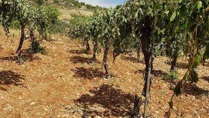 بستان زيتون فلسطيني بالقرب من الخليل حيث تم قطع حوالي 400 شجرة زيتون في هجوم جريمة كراهية في 16 مايو / أيار 2018. (B'Tselem)