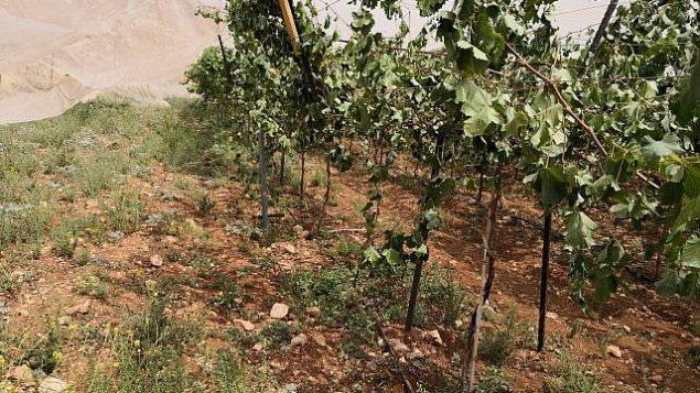 مزرعة كروم فلسطينية بالقرب من رام الله استهدفت في 29 أيار / مايو 2018 في جريمة كراهية. (Iyad Haddad/B'Tselem)