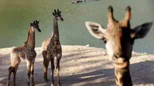 زرافات في 'حديقة الحيوان التوراتية' في القدس.  (Miriam Alster/Flash90)