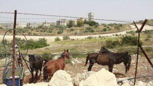 إسطبل خيول يقع على أرض فلسطينية خاصة في مستوطنة شعاري تيكفا بالضفة الغربية بعيدا عن متناول المزارعين من قرية سنيريا، الذين عملوا في الميدان منذ عقود. (Jacob Magid/Times of Israel