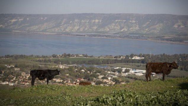 بقرة تقف في حقل يطل على بحيرة طبريا، شمال إسرائيل، 15 فبراير، 2018. (Nati Shohat/Flash90)