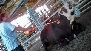 عامل يحاول تحريك عجل انهار عن الوقوف في مسلخ تنوفا في مدينة بيت شين الشمالية، ديسمبر 2012. (Animals Now)