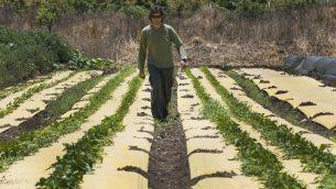 صورة توضيحية: مزارع عضوي اسرائيلي، 8 مايو 2017 (AFP PHOTO / JACK GUEZ)