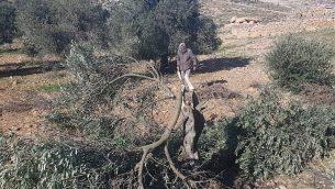شجرة زيتون تم قطعها في موقع ما تبدو كجريمة كراهية في قرية التواني الفلسطينية في جنوب الضفة الغربية، 8 يناير، 2019.  (B'Tselem)
