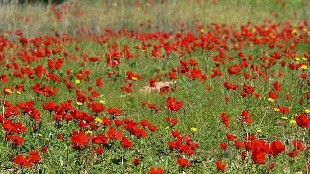 حقل من زهور شقائق النعمان يزدهر في غابة شوكيدا، في جنوب إسرائيل في 30 يناير، 2019. (Dudi Modan / Flash90)