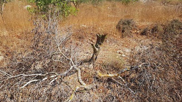 شجرة زيتون تم اقتلاعها في قرية ياسوف الفلسطينية، 27 يوليو، 2019. (Radi Attiani/Yesh Din)