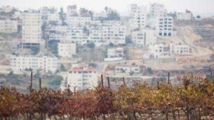صورة لكروم عنب بساغوت في الضفة الغربية بالقرب من مدينة رام الله، 13 ديسمبر، 2012. (Yonatan Sindel/Flash90)