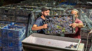 عمال يهود يعملون في مصنع النبيذ 'بيت إيل' في مستوطنة بيت إيل الإسرائيلية بالضفة الغربية، 4 سبتمبر، 2019. (Hillel Maeir/Flash90)
