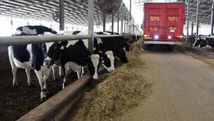 ماشية في كيبوتس سريد في عميق يزراعيل، 24  يناير، 2017. (Anat Hermoni/Flash90)