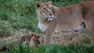 اللبؤة ياشا وشبليها المولودين حديثا في حديقة الحيوان التوراتية. (Gili Cohen-Magen)
