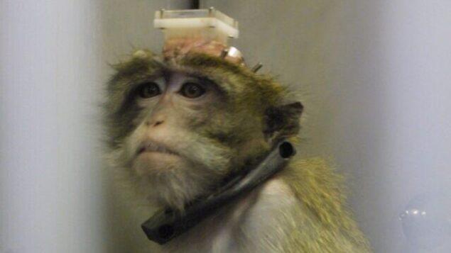 قرديُستخدم في تجربة في مختبر في مستشفى 'هداسا عين كارم' بمدينة القدس، 22 يوليو، 2003. (Flash90)