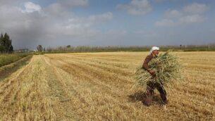 توضيحية: مواطن عربي إسرائيلي يجمع القمح من حقل مباشرة بعد حصاده في مستوطنة بورغاتا، 8 أبريل، 2013. (Chen Leopold / Flash90 / File)