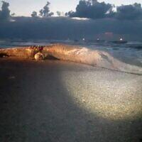 جثة حوت على شاطئ في جنوب إسرائيل، 18 فبراير 2021 (Courtesy of the Israel Nature and Parks Authority)