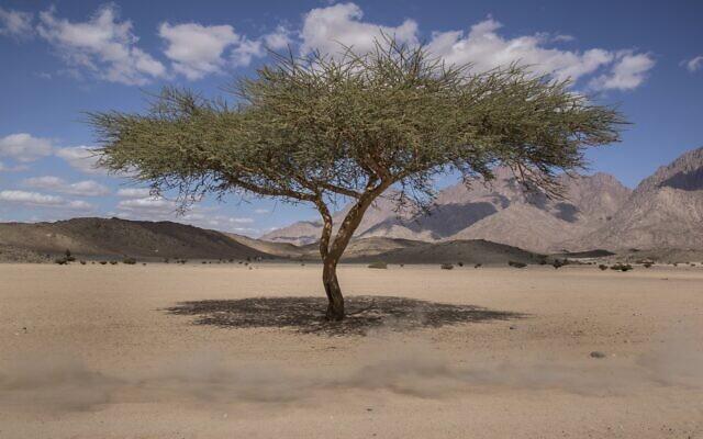 """صورة توضيحية لشجرة في الصحراء، خلال سباق """"رالي داكار"""" في السعودية، 6 يناير 2020 (AP Photo/Bernat Armangue)"""