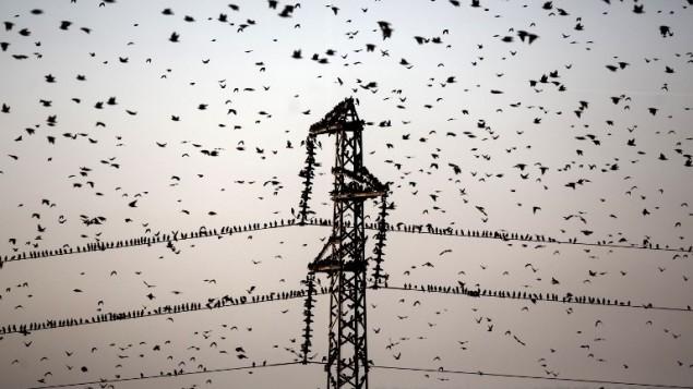 مجموعة من طيور الزرزور بالقرب من مدينة رهط، شمالي النقب في إسرائيل، 2 فبراير 2015 (AFP/MENAHEM KAHANA)