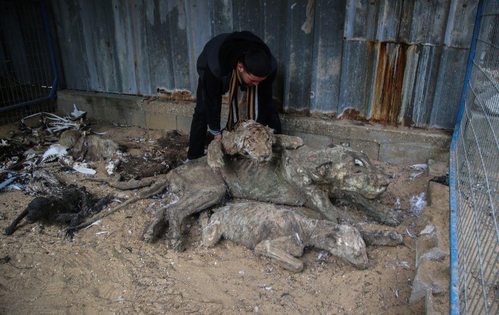 """عامل في جمعية """"فور بوز"""" يفحص حيوانات تم تحنيطها بعد وفاتها في حديقة حيوانات في خان يونس، قطاع غزة (Four Paws)"""
