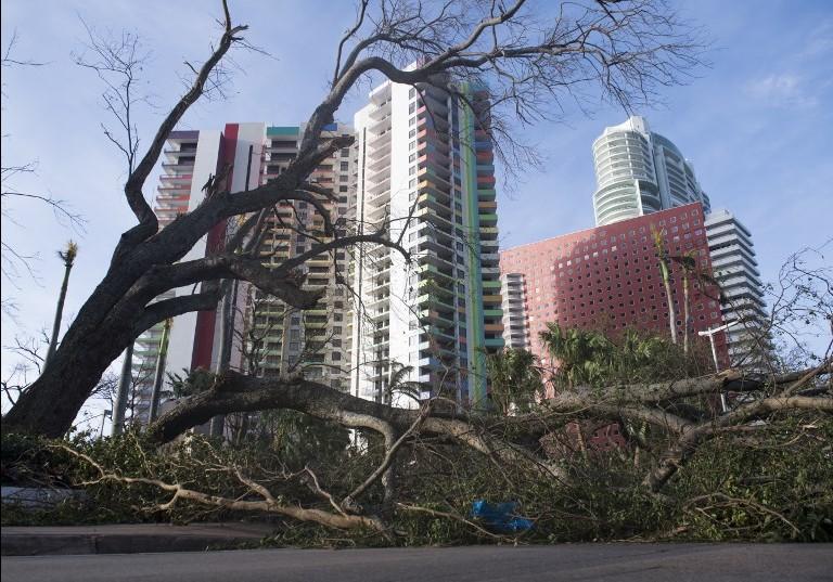 شجرة اقتعلتها رياح اعصار ايرما تسد الطريق وسط مدينة ميامي في ولاية فلوريدا، 11 سبتمبر، 2017. (AFP PHOTO / SAUL LOEB)