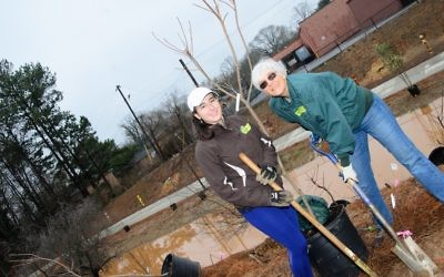 Ahavath Achim Synagogue member Myrtle Lewin (right), one of the annual organizers of the event, digs into the muddy soil with the help of Kristina Armstrong on Feb. 4 (Photo by Eli Gray)