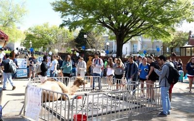 UGA's Israel Fest features a real camel staying calm for photos. (Photo by Savannah Martin)