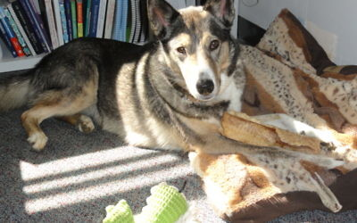 Therapy dog Ari, a shepherd-husky mix, has been a part of student life at Cloverleaf since 2012.