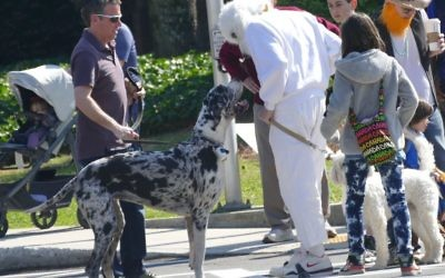 A Great Dane finds a rare canine to look up to, albeit one on two legs.