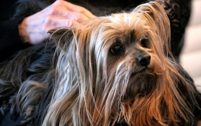 Beloved 13-year-old Yorkie Murray rules the Gold household.